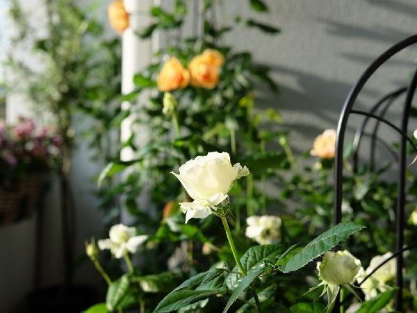 初心者も!ベランダでバラを育てる方法とおすすめ品種