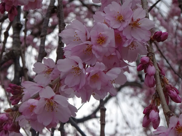華やかな舞台桜