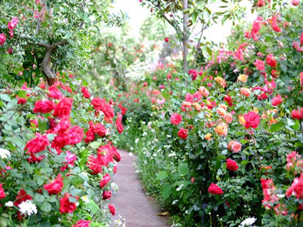 花毎撮影のローズガーデン