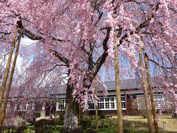 映画「かあべい」に登場した小学校の幸せ気分になる桜