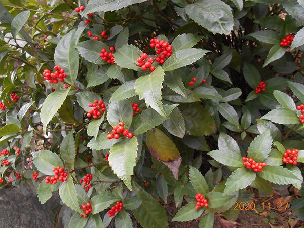 正月の出番を待つ赤い実の千両