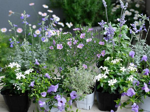 ベランダガーデニングにおすすめの花の品種