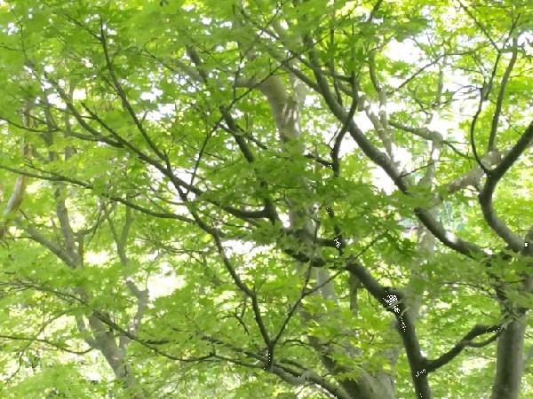 初夏の風に揺れる楓