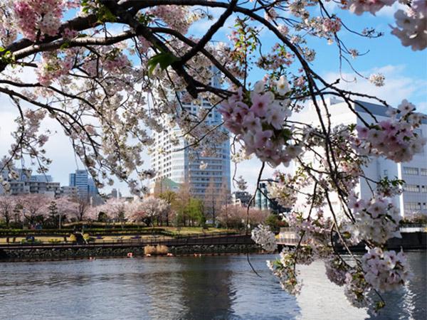 東京の遅咲き桜