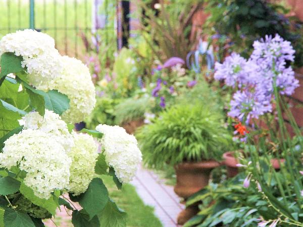 白とブルーの花たちが主役の、7月の庭