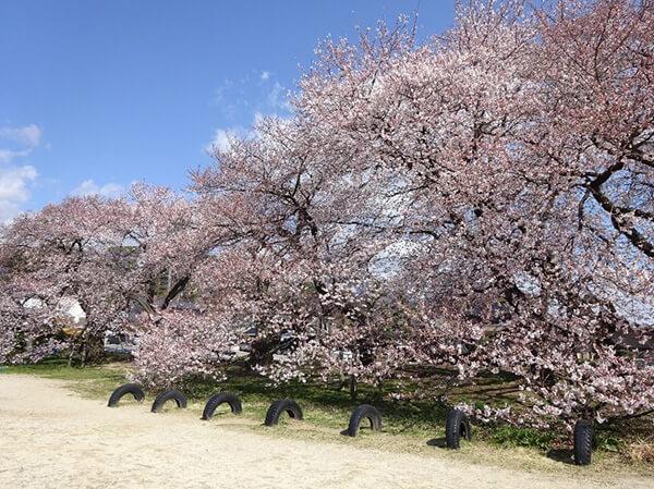 満開の「日本一の学校桜」と「松源寺門前桜」