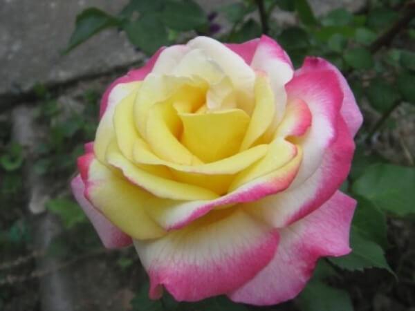 長女の結婚式の花束から挿し木をし、育てたバラ