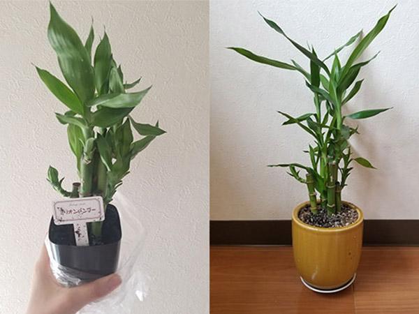 DAISOの観葉植物は実際どう?買える種類と育て方