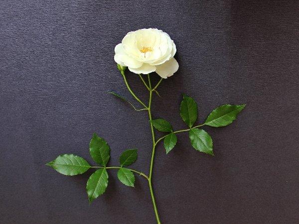 好きなバラ10選