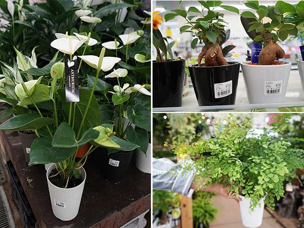 スーパービバホーム豊洲店で買える観葉植物