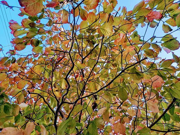 10月中旬にはハナミズキが優しく色付き始める
