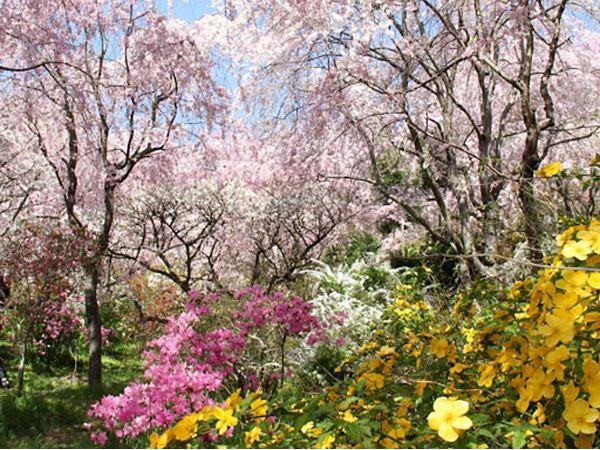 大人が楽しめる京都・千葉の桜の絶景3選