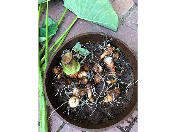 我が家の庭で里芋が採れました
