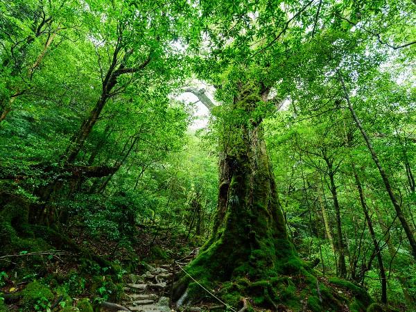 伐採禁止の屋久杉がなぜ販売されているの?