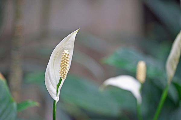 5~10月に咲くスパティフィラムの特徴的な花(本来の花はブラシ状の部分)