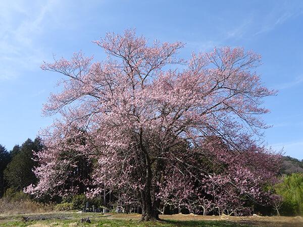 素敵な桜を発見‼