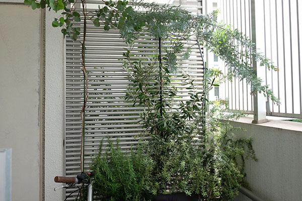 オリーブが育つ、石川さん宅のベランダの様子
