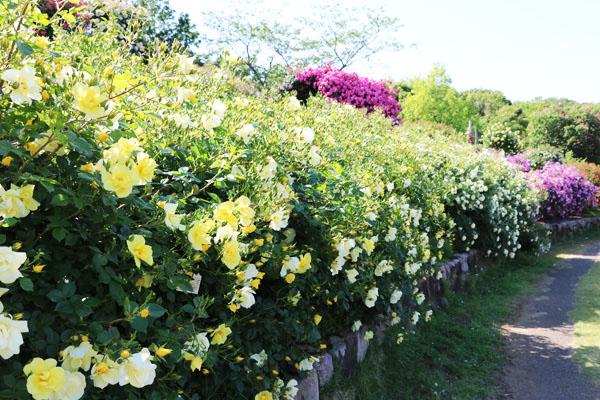 黄色いバラ「リモンチェッロ