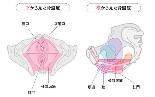 骨盤底の仕組み