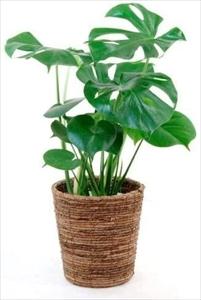 在宅ストレス解消の癒しグッズ:観葉植物