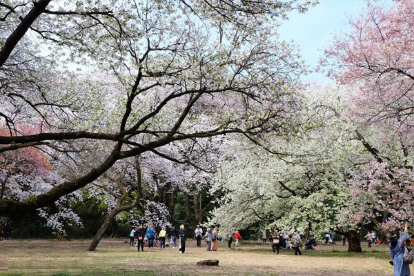 65種1100本の桜が集められた古くからの名所│新宿御苑
