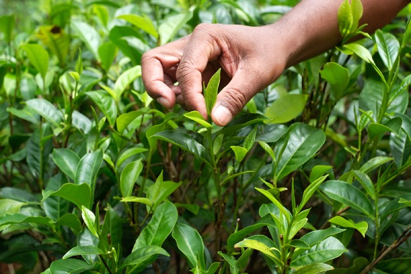 「一芯二葉」が茶摘みの基本です。これは、日本茶の新茶と変わらないですね。