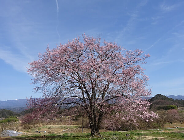 上の写真の反対側から見るとまるで別の桜のようです