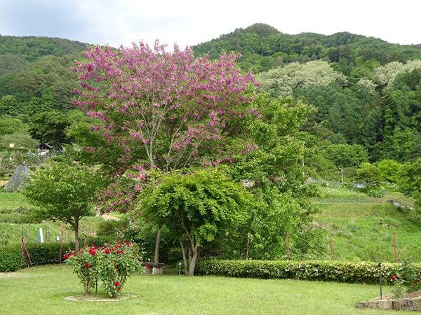 本アカシアの木