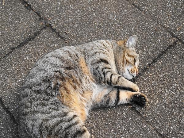 猫はどうしてまたたびが好きなの?