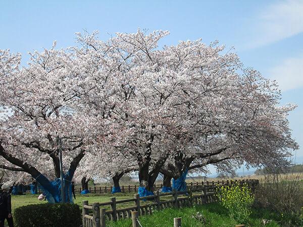 二人で桜の下を歩いた懐かしい日々の思い出