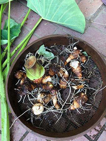 こんなにたくさんの里芋が採れました!