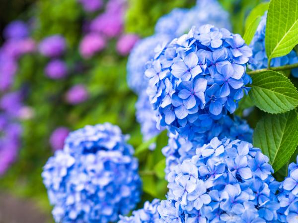 紫陽花(アジサイ)の色はどうして変わるの?