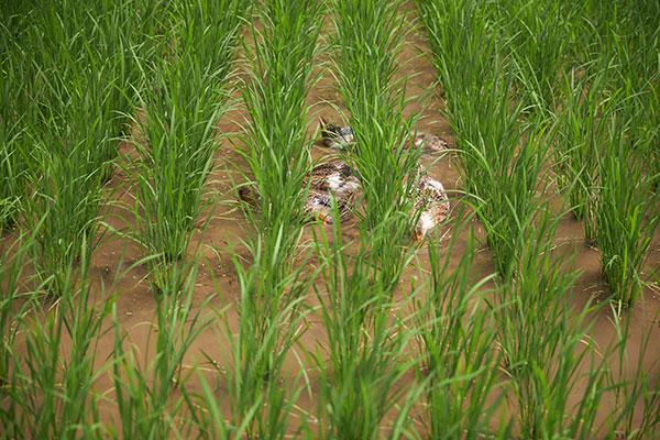 夏、群言堂の田んぼにはアイガモが。苗を食べずに雑草だけを処理してくれる。