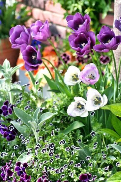 濃い紫色の「パープルプリンス」、そして「シャリー」。その下にはネモフィラ、パンジーのタキシード、ラムズイヤー。