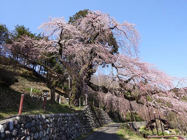 桜のトンネルの道は江戸時代の旧遠州街道
