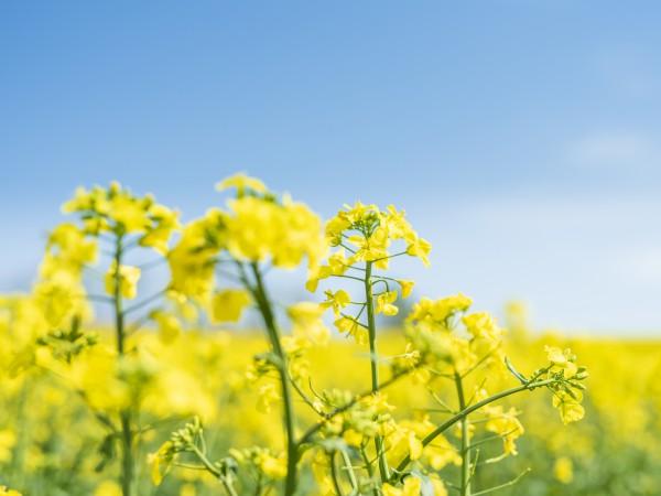 菜の花はアブラナ科の総称