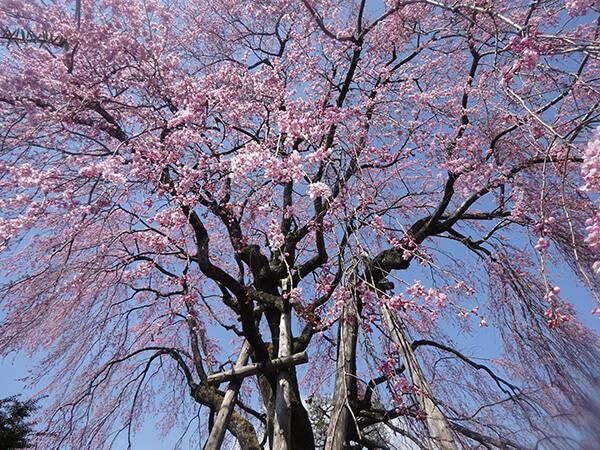 紅枝垂れ桜を見上げれば