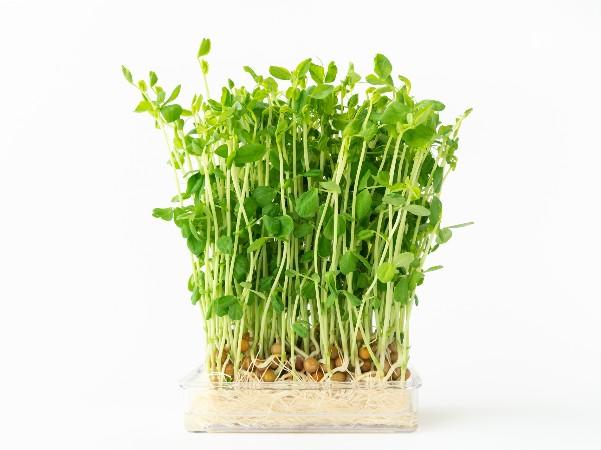 豆苗って何回収穫できるの?
