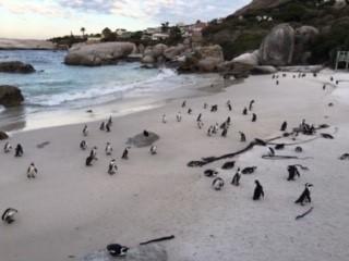 ケープペンギンのコロニー