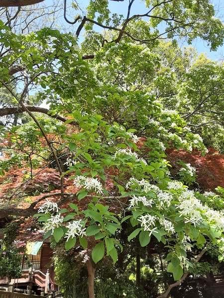 深大寺 なんじゃもんじゃの白い花