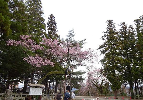 清秀桜と千代蔵桜