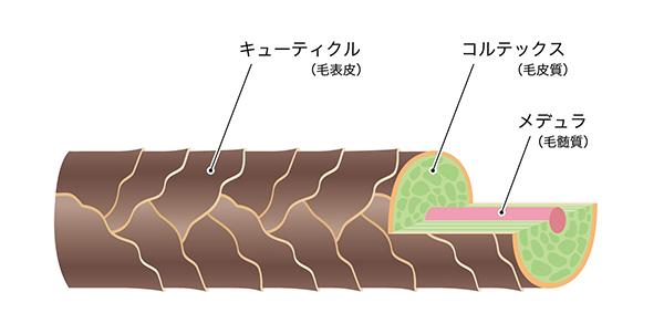 毛髪の細胞の作り