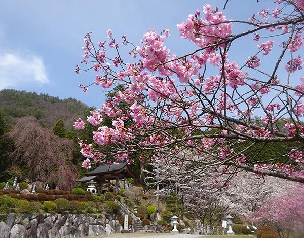 咲き始めた福寿院の桜