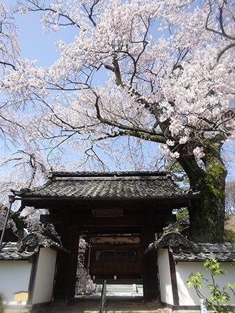 経蔵寺の江戸彼岸桜