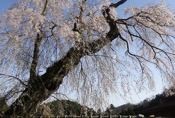 ウグイスのさえずり、桜を愛でる
