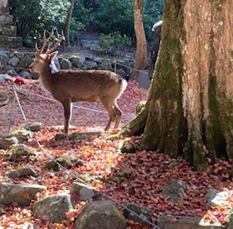 もみじ谷公園の紅葉と鹿