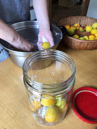 梅に塩を丁寧にまぶして瓶に漬けていく