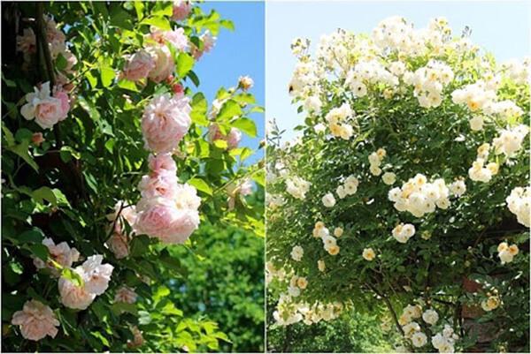 パーゴラのバラ、きれいでした。左のフェリシア、右のギスレーヌ・ドゥ・フェリゴンド、他にもジャスミーナなど……あふれるように咲いていました。