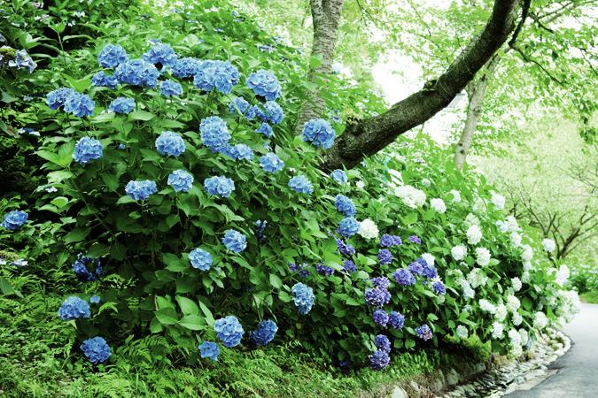 ブルーが鮮やかなエンドレスサマーなど色とりどりの西洋アジサイ