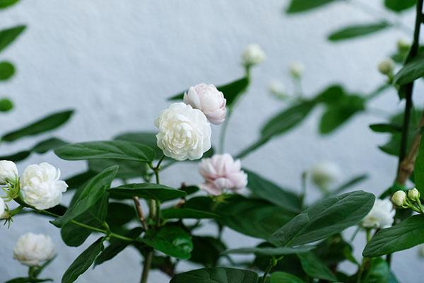 八重咲きの茉莉花。開花から時間がたつとピンク色へと変化します。